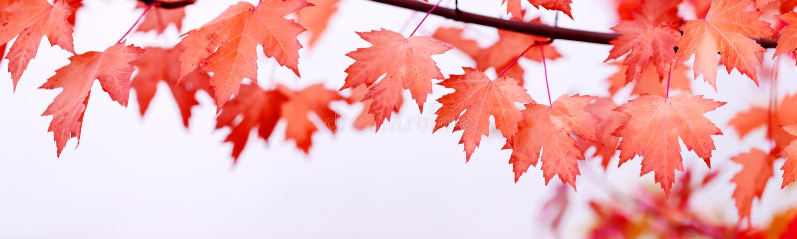 Canada Day maple leaves background. Falling red leaves for Canad royalty free stock photos