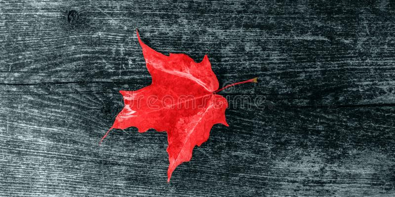 Canada Day maple leaves background. Symbol picture for Canada Day 1st July. Happy Canada Day real maple leaves in shape of royalty free stock photography
