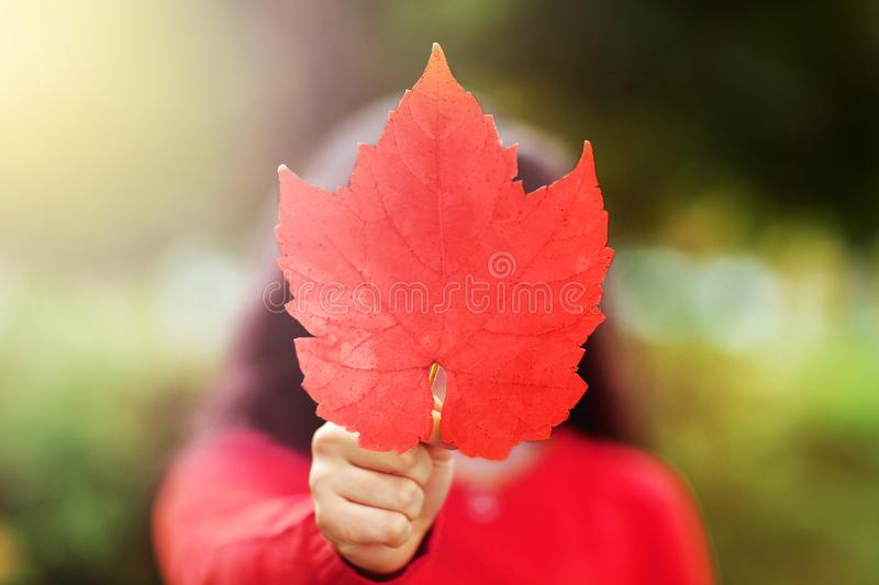 Canada Day picture of red maple leaf in the hand of girl. Young. Girl with the red maple leave in shape and color of Canadian flag. Girl holding maple leaf royalty free stock images