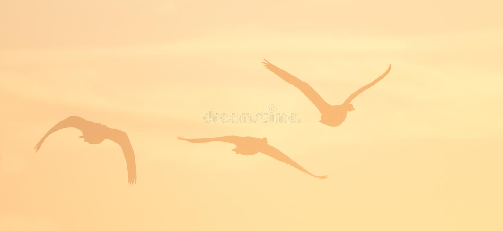 Download Canada Geese Stock Photos - Image: 20840823