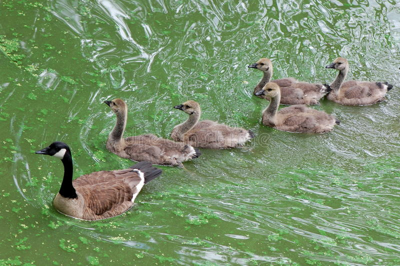 Download Canada Geese stock image. Image of lake, geese, water - 25198217
