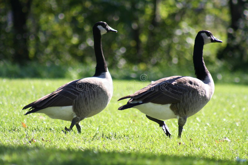 Download Canada Geese stock image. Image of flock, wildlife, gander - 279703