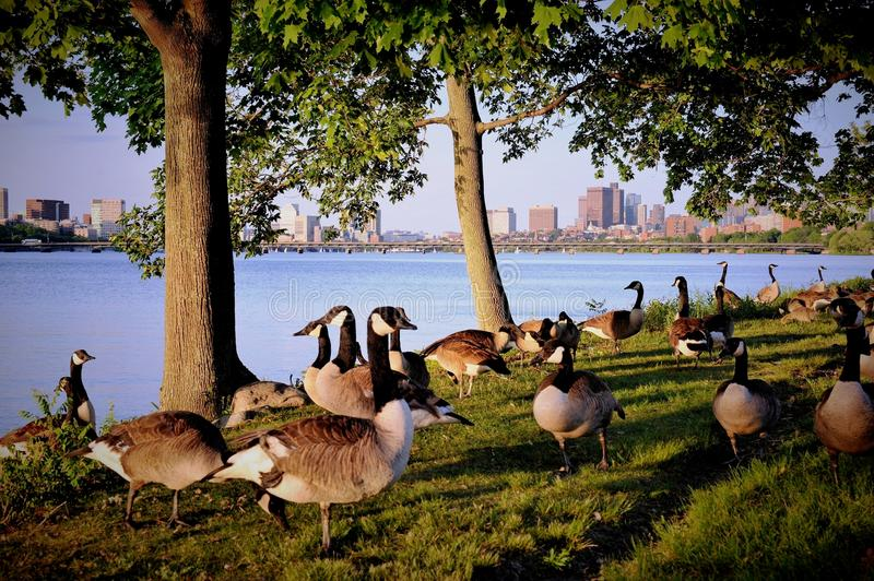 Canada Geese along Charles River royalty free stock images