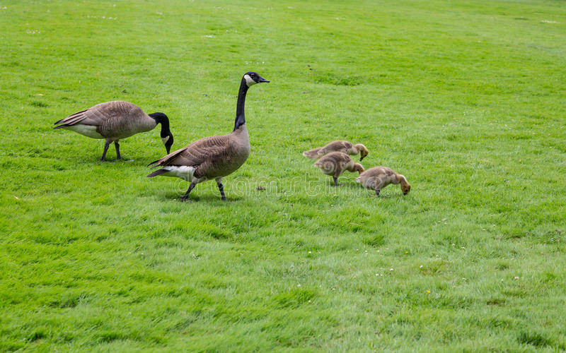 Canada Geese and Babies in Grass. Baby Canada Geese feeding in the green grass stock photography