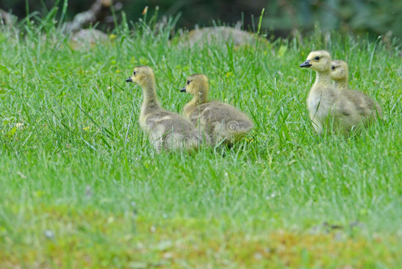 Canada Geese babies in green grass. royalty free stock photo