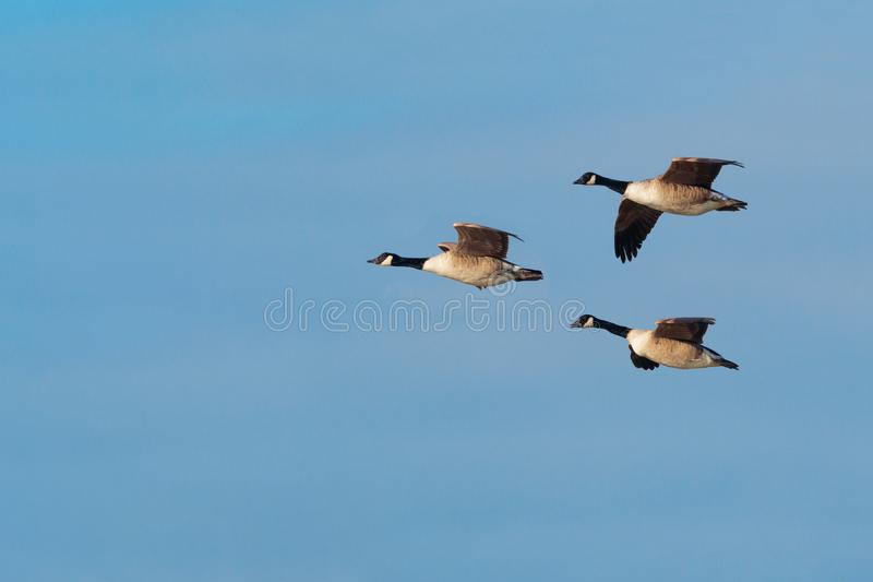 Canada Geese, Branta canadensis, in flight. stock image