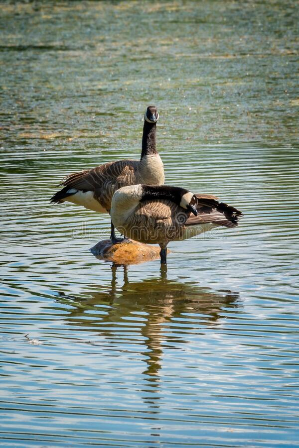 Canada geese Branta canadensis on a lake royalty free stock image