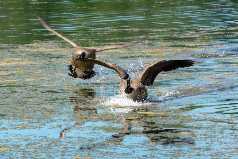 Canada geese Branta canadensis landing on a lake stock photo