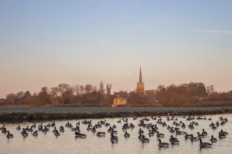 Canada Geese Branta Canadensis on River Thames. At Lechlade, England, United Kingdom stock images