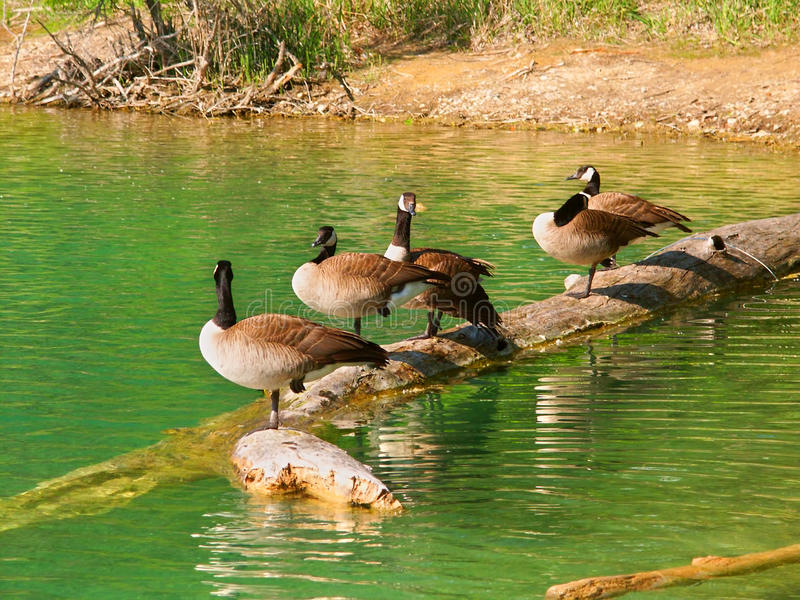 Download Canada Geese (Branta Canadensis) Stock Photo - Image: 33445584
