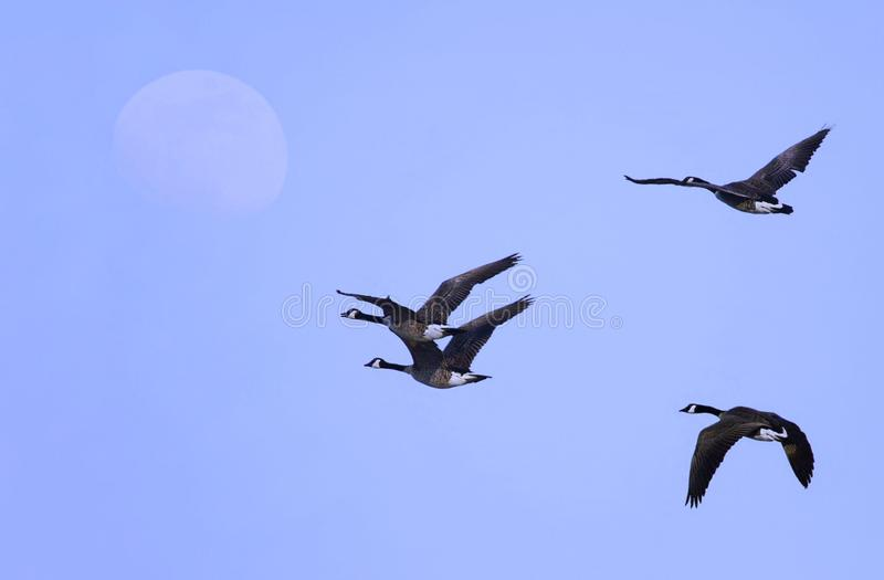 Canada Geese Hazy Morning Flight stock photo