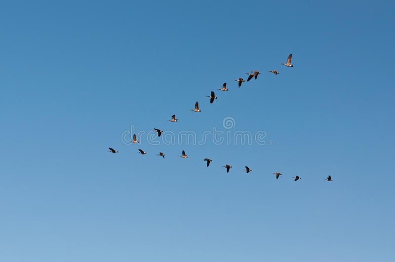 Canada Geese in Flight stock photo