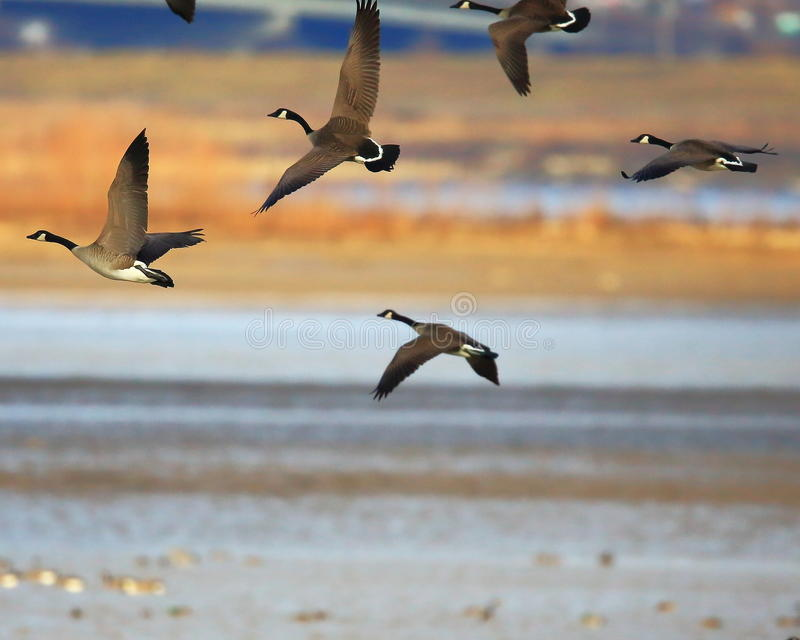 Canada geese in flight. Formation flight of Canada Geese flying near the Mississippi River at River lands Wildlife area, in St. Charles county, Missouri royalty free stock photography