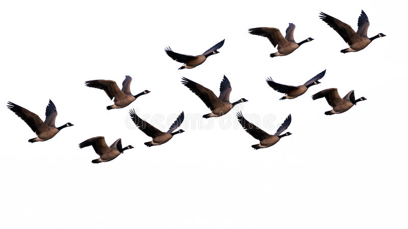 Canada Geese. Flock of Canada Geese in flight on white background. Branta Canadensis royalty free stock photos