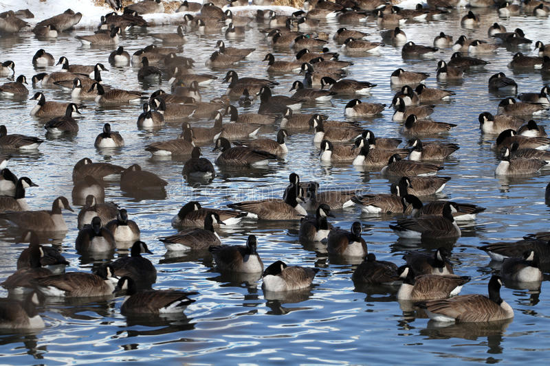 Canada Geese. Gathered in large numbers on cool morning royalty free stock photos