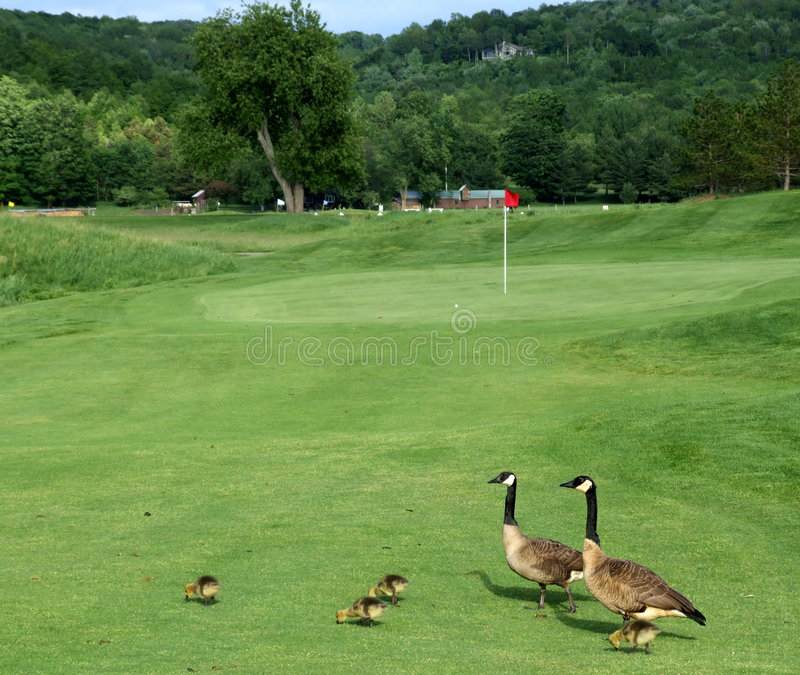 Canada Geese on a golf course stock photo
