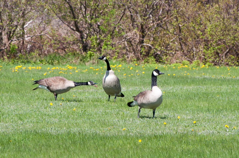 Canada Geese royalty free stock photos