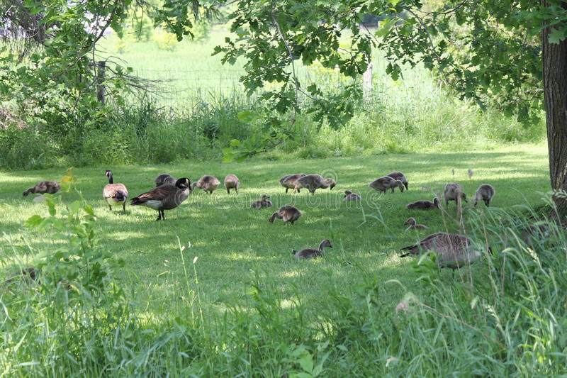 Canada Geese and Goslings on Grass stock photos