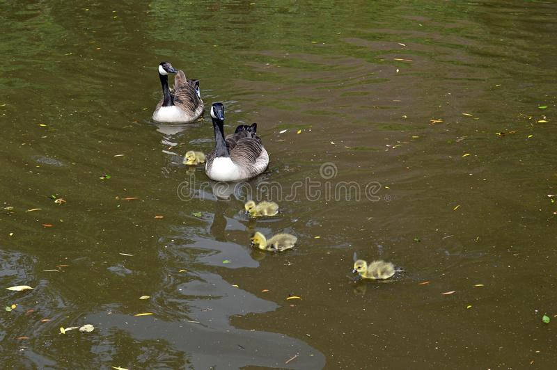 Canada Geese and Goslings. On the Nottingham and Beeston Canal in Nottingham city centre taken in late spring may stock image