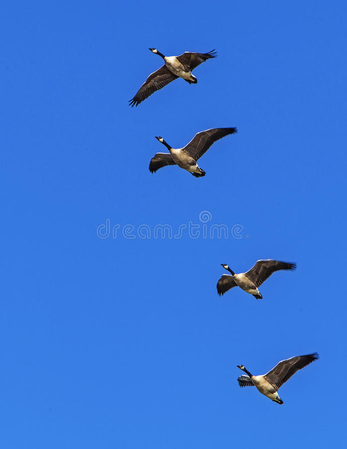 Free Canada Geese In Flight Stock Photo - 29019780