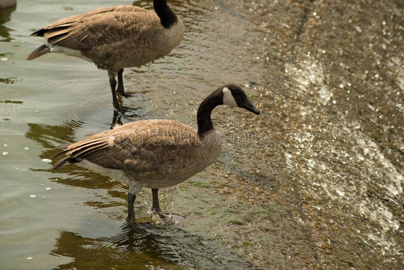 Geese on the spillway. Canada geese at the Pymatuning spillway reservoir in eastern Pennsylvavia stock photos