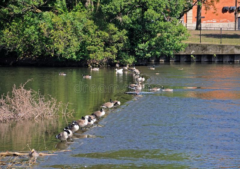 Canada geese on River Derwent, Derby. Canada Geese standing in a row along the weir on the River Derwent, Derby, Derbyshire, England, UK, Western Europe stock photos