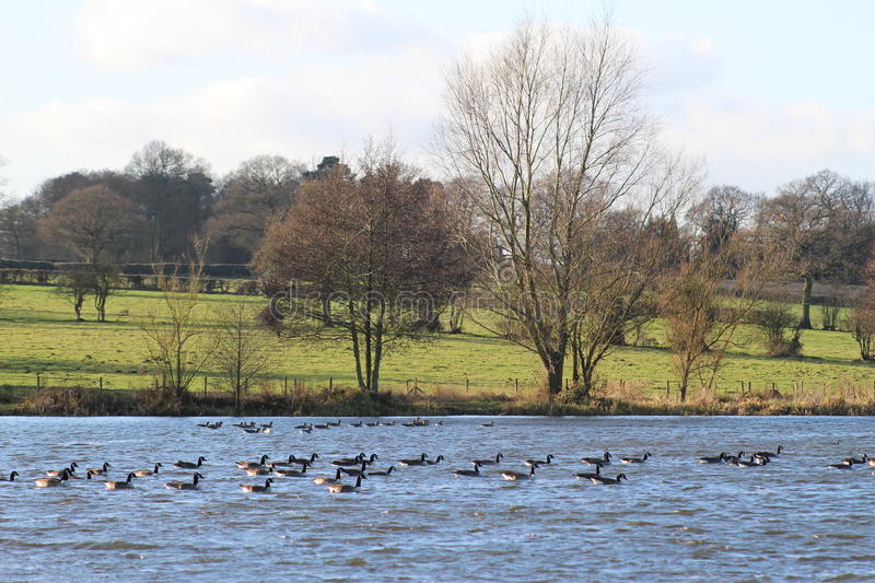 Canada Geese on Seaswood Pool. Canada Geese Flocking Together for Food and Warmth stock photos