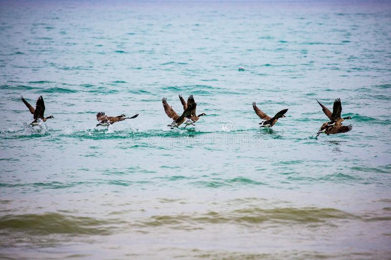 Canada geese taking off for flight from lake Michigan royalty free stock image
