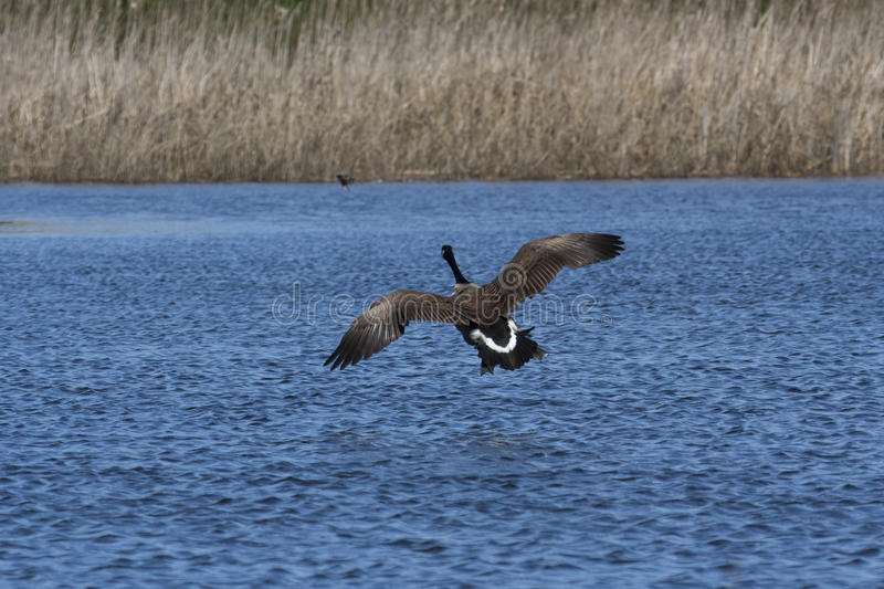 Download Canada Goose Royalty Free Stock Photos - Image: 16490908