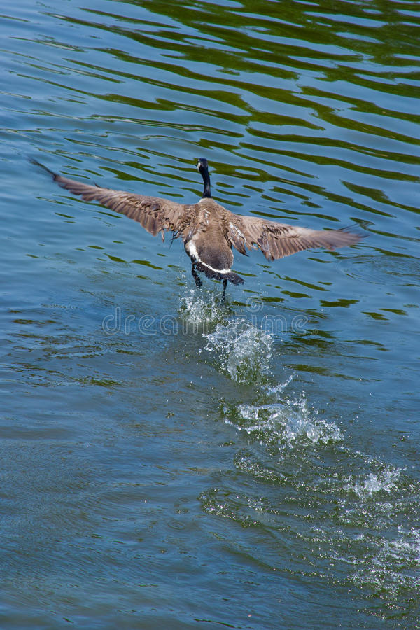 Canada goose. In flight, scimming over the water stock photography