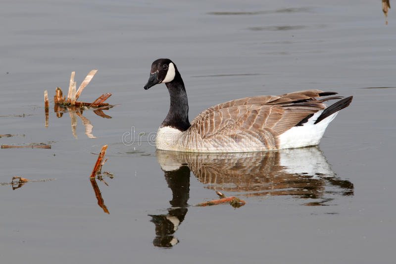 Download Canada Goose stock photo. Image of animal, game, wing - 25408134