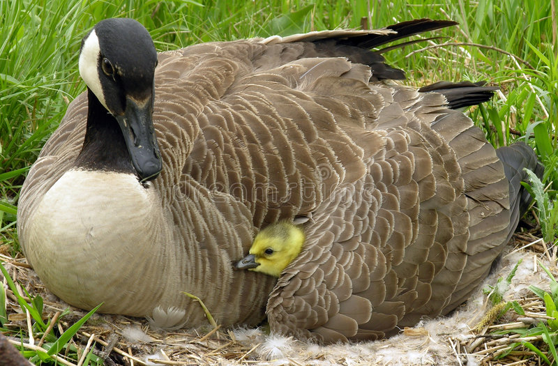 Canada Goose. Canadian gosling under its mothers wing