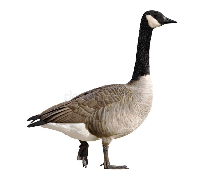 Canada Goose stock images