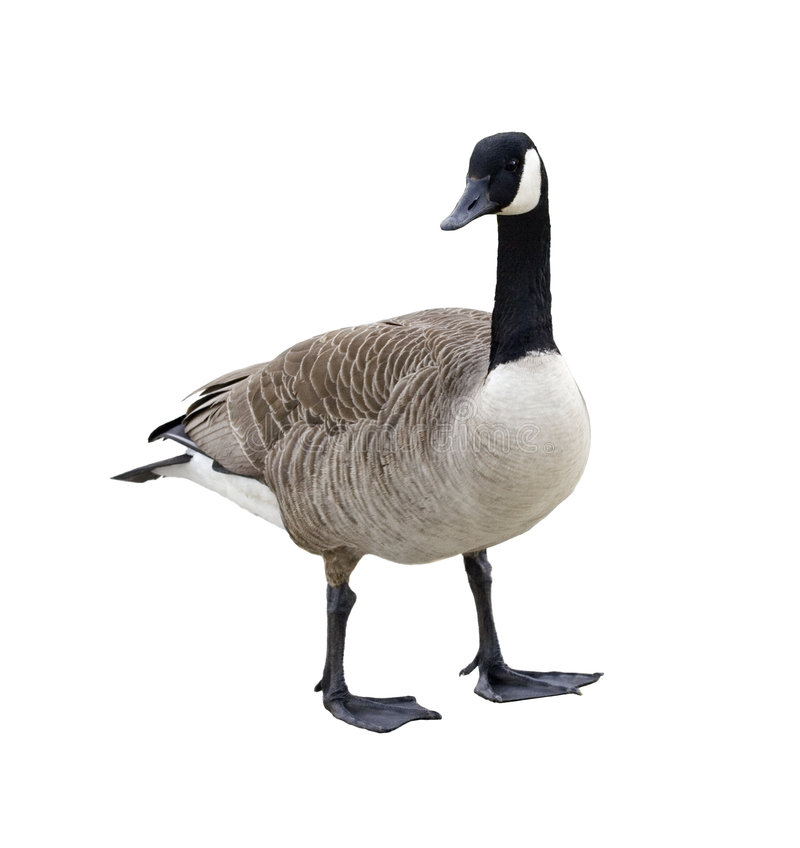 Free Canada Goose Royalty Free Stock Images - 4979209