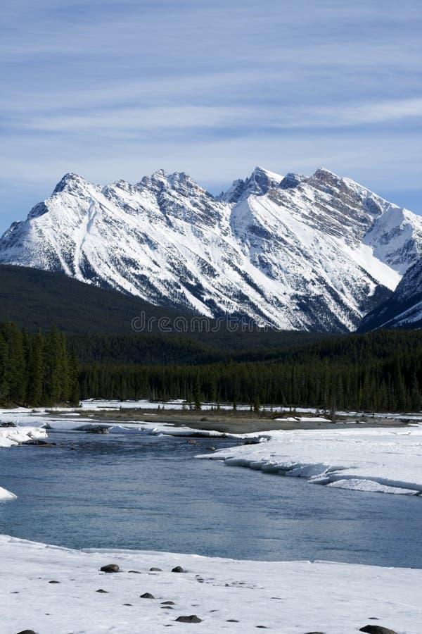 Canada goose. stock photos