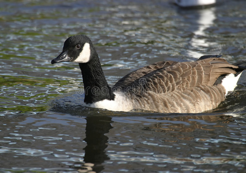 Download Canada Goose Stock Photos - Image: 71533
