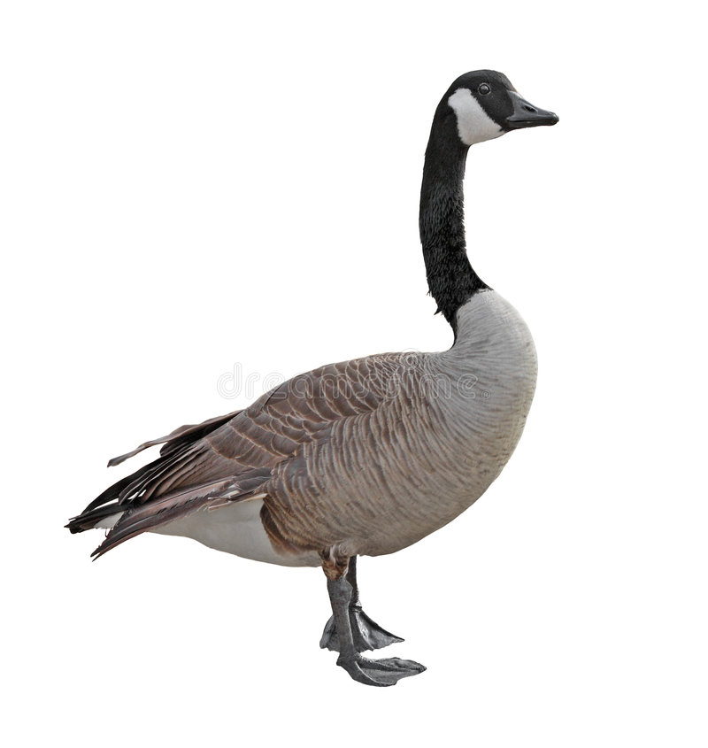 Free Canada Goose Stock Images - 8532484