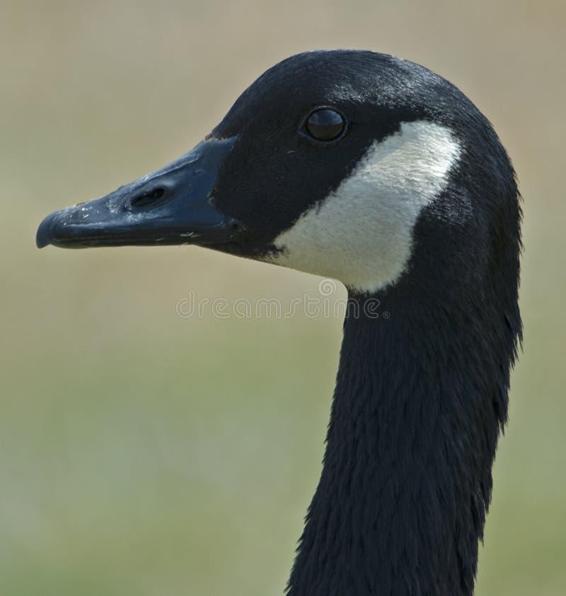 Free Canada Goose Royalty Free Stock Image - 8927326