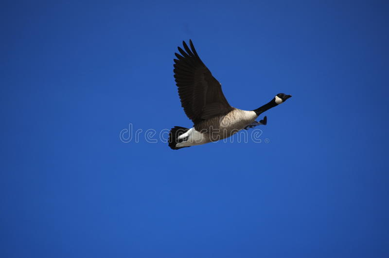 Canada Goose against a deep blue sky royalty free stock photo