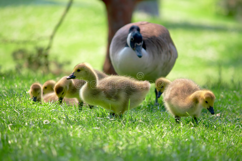 Canada goose babies. Canada goslings searching for food. Watching over by parent stock images