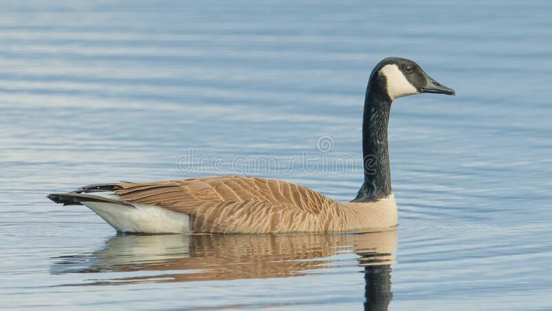 Canada goose on beautiful calm blue peaceful tranquil lake - taken during Spring migrations at the Crex Meadows Wildlife Area in N. Orthern Wisconsin royalty free stock image