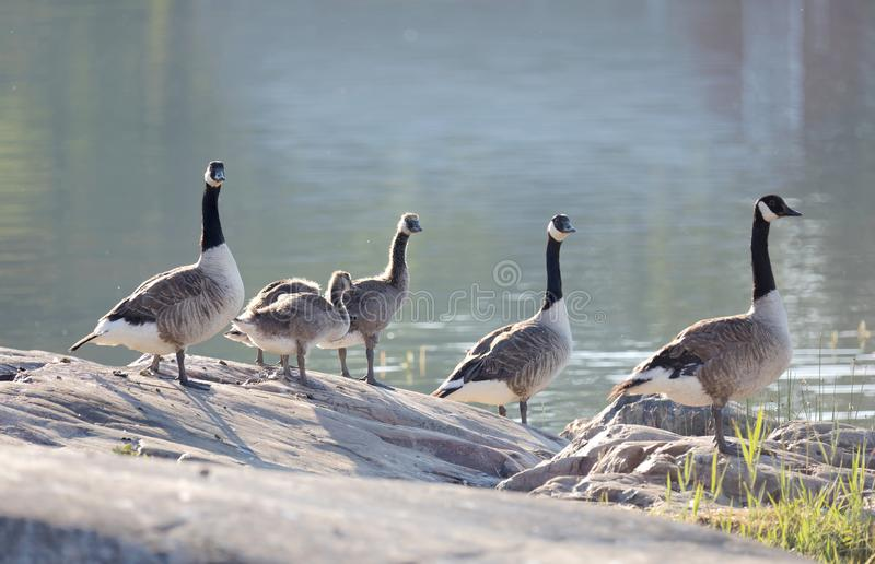 Canada Goose bird family in early morning light standing on a rock by the sea (latin: Branta canadensis) stock images