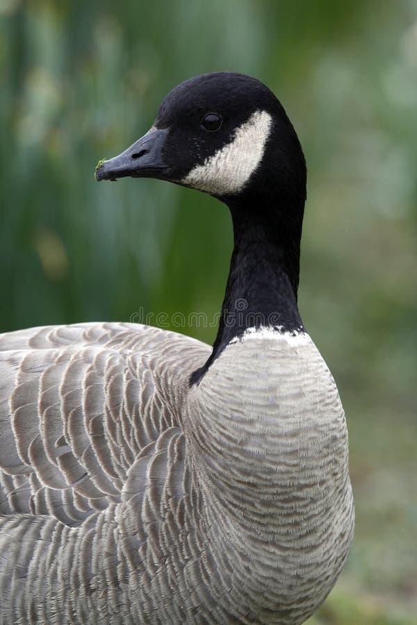 Canada Goose (Branta canadensis) stock image