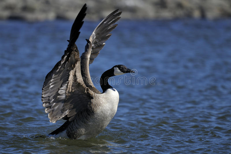 Canada goose, branta canadensis royalty free stock photos