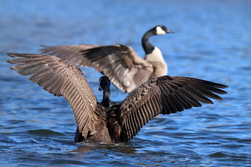 A Wild Goose Chase royalty free stock photography