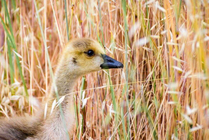 Canada Goose Branta canadensis chick; tall grass background; San Francisco bay area, California royalty free stock photo