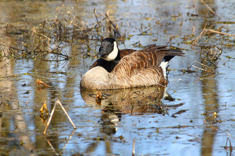 Canada Goose (Branta canadensis). At Deer Run Forest Preserve in Illinois stock photos