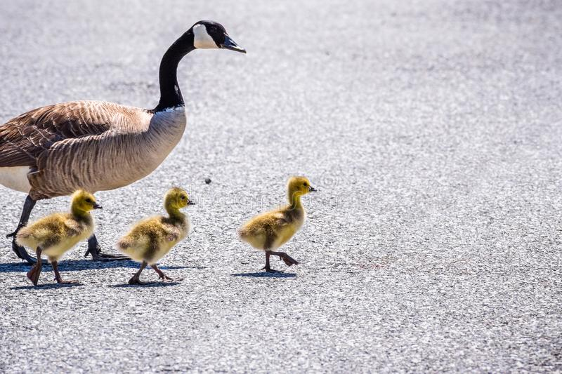 A Canada Goose Branta canadensis family stock images