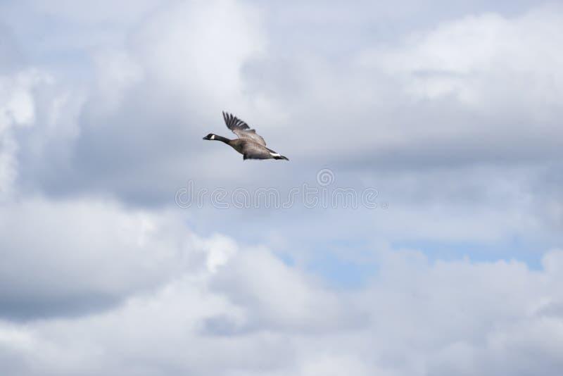 Download Canada Goose (Branta Canadensis) Stock Photo - Image of wildlife, anchorage: 56257080