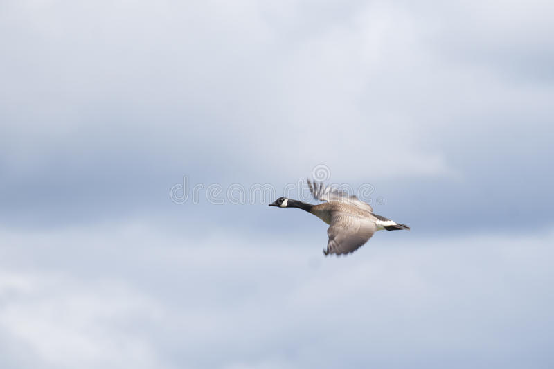 Download Canada Goose (Branta Canadensis) Stock Image - Image of british, female: 56257103